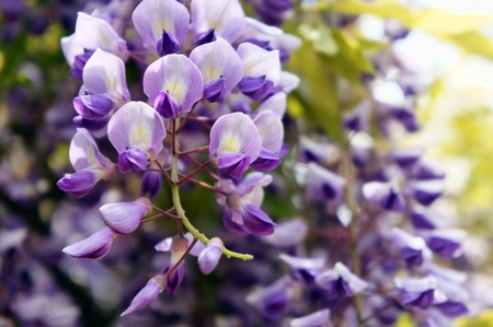 wisteria (close-up)  Stock Photo