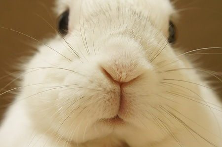 White Rabbit. Close-up photography of the rabbit.