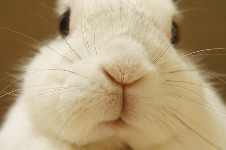 lapin blanc: White Rabbit. Photographie rapproch�e du lapin.