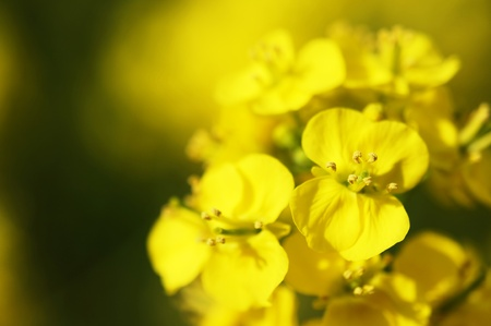Rape blossoms (close-up). It takes a picture in April. photo