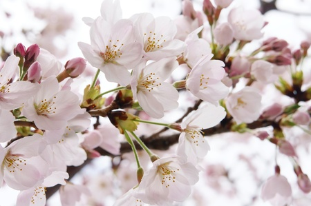 Cherry Blossoms (close-up). It takes a picture in April.