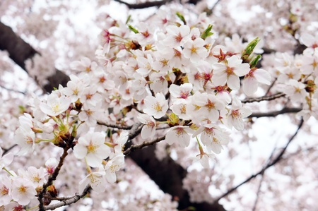 Cherry Blossoms (close-up). It takes a picture in April. photo