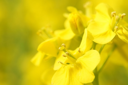 Rape blossoms (close-up). It takes a picture in April.