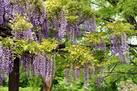 wisteria: Wisteria trellis. It takes a picture in May.