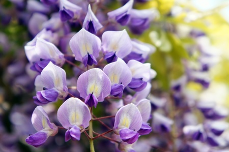 wisteria: Wisteria. It takes a picture in May. Stock Photo
