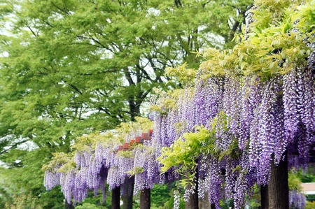 Wisteria trellis. It takes a picture in May.