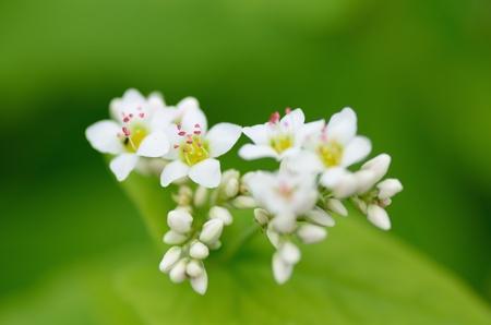 Macro photo of Buckwheat flowers. Photograph was taken in October. Stock Photo - 11692423