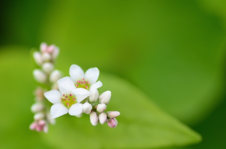 Macro photo of Buckwheat flowers. Photograph was taken in October.