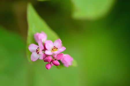 Macro photo of Buckwheat Flowers Red.  Photograph was taken in October. Stock Photo - 11692426