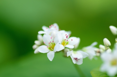 Macro photo of Buckwheat flowers. Photograph was taken in October. Stock Photo - 11692424
