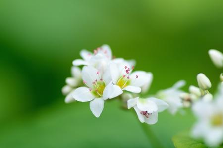 Macro photo of Buckwheat flowers. Photograph was taken in October. Stock Photo - 11692424