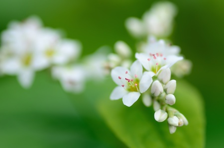 Macro photo of Buckwheat flowers. Photograph was taken in October. Stock Photo - 11692425
