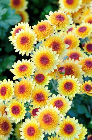 Yellow and Purple Spray Chrysanthemum. Photograph was taken in Japan in winter. Stock Photo
