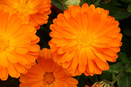 Orange Calendula officinalis. It was taken by Japan in the spring. Stock Photo