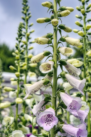 Digitalis. It was taken by Japan in the spring. Stock Photo - 12605993