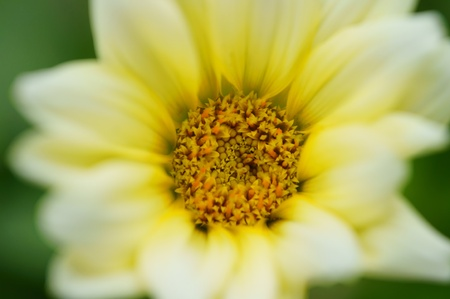 Gazania (close-up). It was taken by Japan in the spring. Stock Photo - 12606028