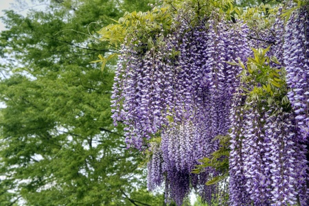Wisteria trellis.  It was taken by Japan in the spring. photo