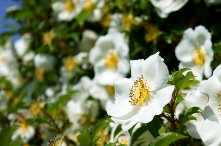 Rosa multiflora. It was taken by Japan in the spring.