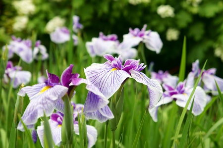 White and Purple Iris. It was taken by Japan in the spring. Stock Photo
