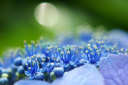 Stamen and pistil of the hydrangea (close-up). It was taken by Japan in the spring.