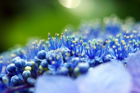 pistil: Stamen and pistil of the hydrangea (close-up). It was taken by Japan in the spring.