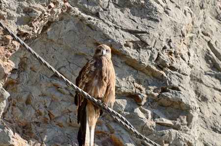 milvus: Black Kite will rest the wings. Photograph was taken in Enoshima in Japan.