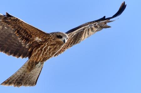 Flying Black Kite. Photograph was taken in Enoshima in Japan. Stock Photo - 12606051