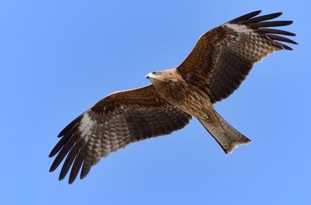 Flying Black Kite. Photograph was taken in Enoshima in Japan. Stock Photo - 12606045