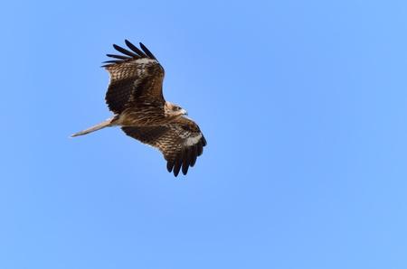 milvus: Flying Black Kite. Photograph was taken in Enoshima in Japan.