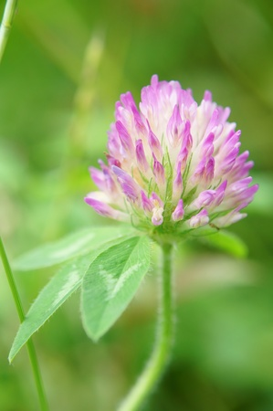 Trifolium pratense (close-up). It was taken by Japan in the spring. photo