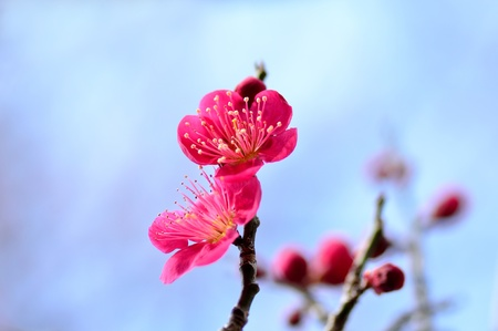 Flower of the plum. The flower of the plum blossom in early spring (Red). photo