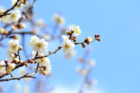 Flower of the plum. The flower of the plum blossom in early spring (White). Stock Photo
