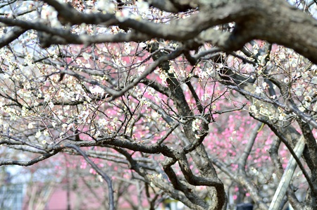 Flower of the plum. Park in early spring plum blossoms bloom. photo
