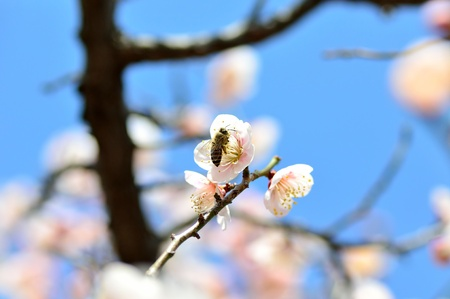 Plum blossoms and bee. Bee on pink plum flower in close up. photo