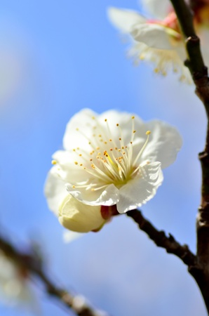 Flower of the plum. The flower of the plum blossom in early spring (White). photo