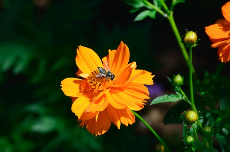 Cosmos sulphureus and Honeybee. Bees suck the nectar. Stock Photo - 12956646