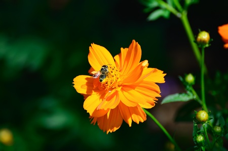 Cosmos sulphureus and Honeybee. Bees suck the nectar. photo