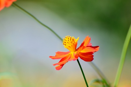 Cosmos sulphureus. Taken with the colorful background of the color of other flowers. Stock Photo - 12956620