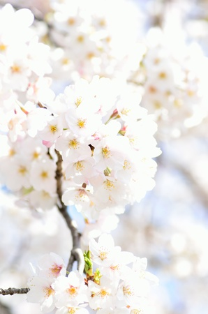 Cherry Blossoms  close-up   Photograph was taken in spring of Japan  Stock Photo