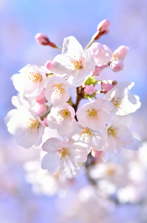 Cherry Blossoms (close-up). Photograph was taken in spring of Japan.
