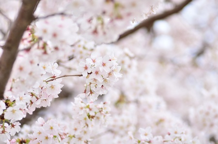 Cherry Blossoms. Photograph was taken in spring of Japan. photo