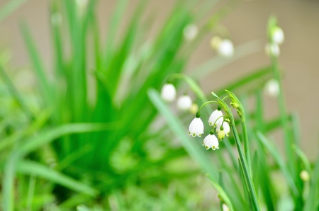 Blooming Lily-of-the-valley (close-up). Background of the green leaf. photo