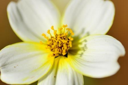 laevis: Blooming Beggarticks (Bidens). Shooting in the spring of Japan.