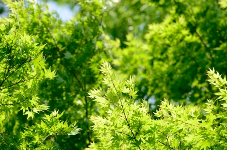 Green young leaves of Palmatum  Early summer season, the fresh green  Stock Photo - 13609300