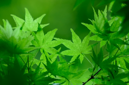 acer palmatum: Green young leaves of Palmatum  Early summer season, the fresh green