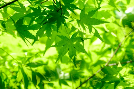 Green young leaves of Palmatum  Early summer season, the fresh green  photo