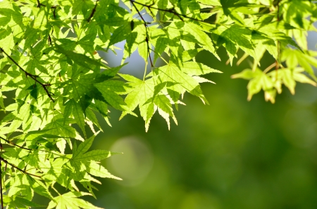 Green young leaves of Palmatum  Early summer season, the fresh green Stock Photo - 13609298