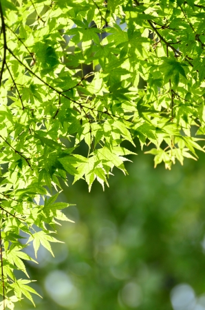 Green young leaves of Palmatum. Early summer season, the fresh green. Stock Photo - 13678664