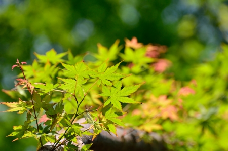 Green young leaves of Palmatum. Early summer season, the fresh green. photo