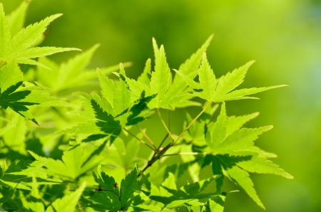 acer palmatum: Green young leaves of Palmatum. Early summer season, the fresh green. Stock Photo